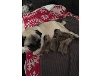 Pug puppy's for sale