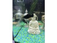 Molly tropical fish