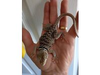 2 female Eastern Collared Lizards