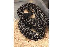Female carpet python
