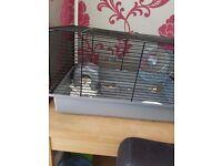 Hamster for sale