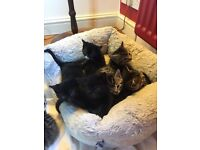 2 Beautiful Black Kittens for Sale