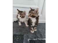 Stunning TabbyKittens for sale