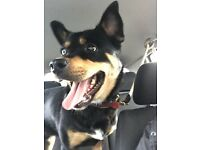 Husky Rottweiler cross, 2 year old. In need of loving forever home