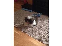 Shi-Tzu puppy 11 weeks