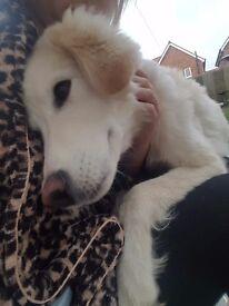 Husky x labrador 8 months old
