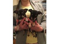 Chihuahua puppies 5 weeks