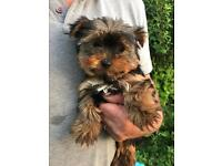 Beautiful Yorkshire Terrier Puppies for sale