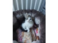 White and grey adorable girl kitten 10 week old £300