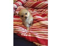XXS Size Teacup Mini Pomeranian Puppy's Full pedigree L@@K £899