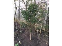 Plant - Yew