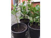 7 x Laurel hedging plants pot grown 1-2ft (30cm - 60cm)