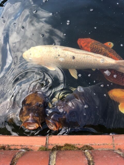 Koi Carp for sale | in West End, Hampshire | Gumtree