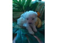 bichon frise x poodle ,puppies 6 weeks old