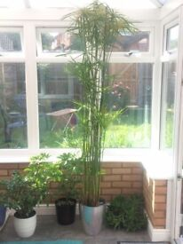 BEAUTIFUL House Plant, Bargain price! STILL AVAILABLE 24/6/18
