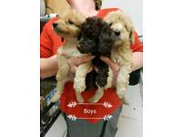 3/4 poodle puppies