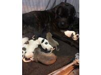 Dogue de bordeaux cross American bulldog puppies