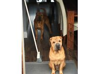 Shar pei dogs for sale