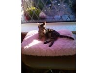 KITTEN Very pretty small Tabby girl 4months old