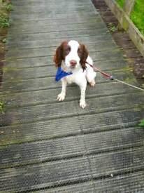 One year old pedigree Springer spaniel