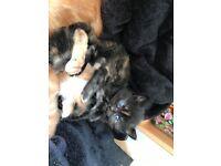 Fluffy Female Kitten - RESERVED