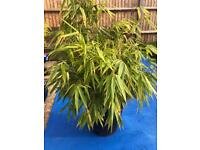 Healthy bamboo plant in plastic container