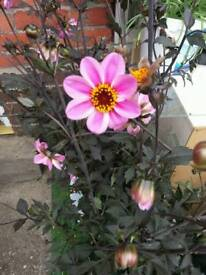Bishops Dahlia's for sale £7 each rrp £12