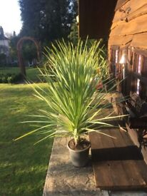 Last few Left. Price Reduced now, Spectacular 5ft Cordylines. Lovely and established