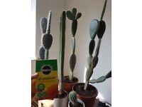 Cactus bundle for sale plant, plants