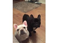 French bulldog looking for 5* home