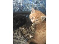 3 British short hair x kittens
