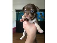 3 Beautiful male chocolate tri colour chihuahua puppies