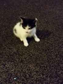 4 kittens for sale 3 boys 1 girls £20 each