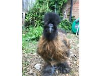 4 month old silkie cockerel in need of a home