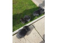 3 baby lion head rabbits