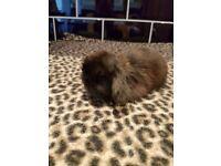 Baby mini lop bunnies