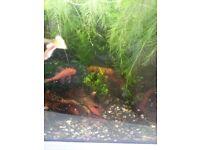Aquarium Water lettuce