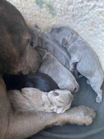 CH MORIS @ BULSCAFF PUPPIES READY IN 9 WEEKS