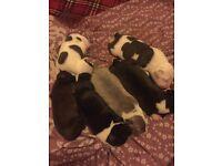 Beautiful staffie puppies