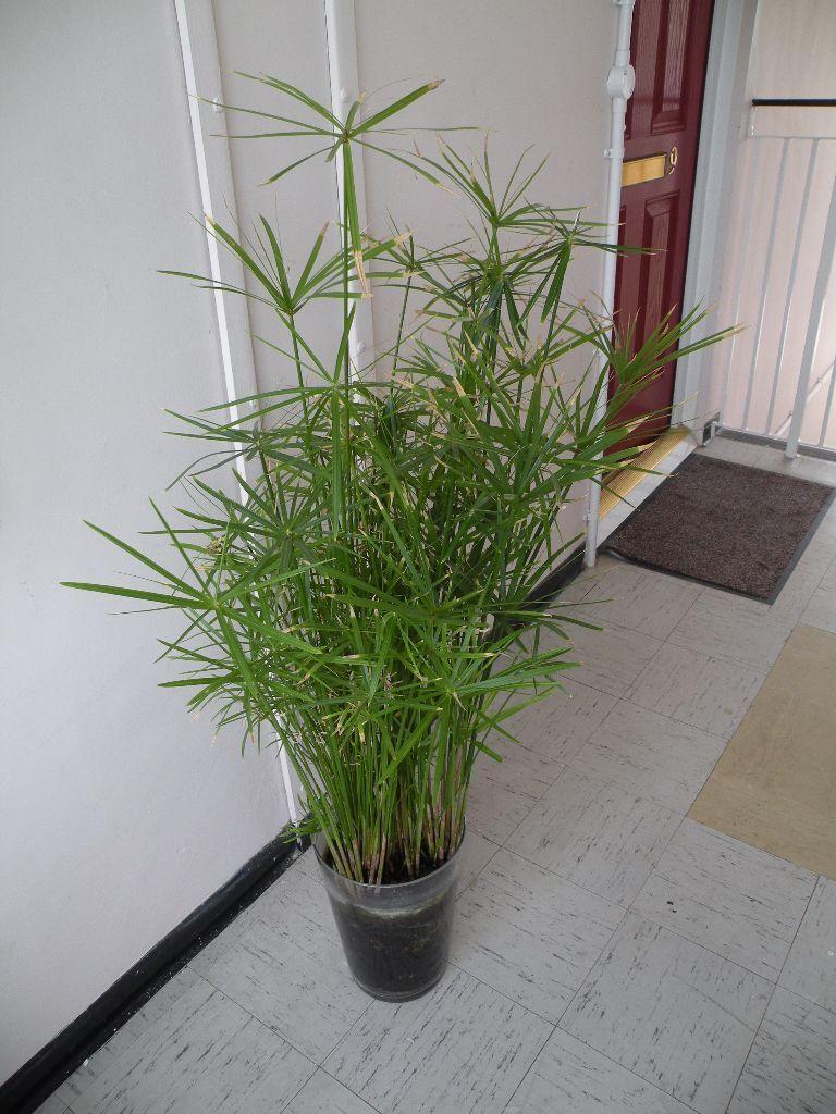 umbrella papyrus plant indoor plant in peterborough cambridgeshire gumtree. Black Bedroom Furniture Sets. Home Design Ideas