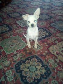 Boy Maltchi puppy , Darlington