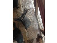 Very pretty pigeons for sale