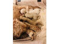 Cockapoo Puppies (PRA Clear)