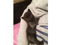 Purrrfect little boy kitten very very loving kittie