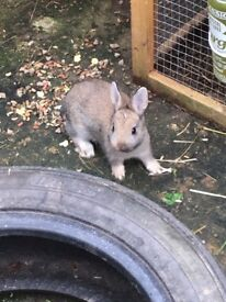 Gorgeous baby boy bunny for sale