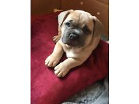 Beautiful, stunning Frenchiepei puppies for sale