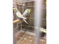 Baby budgies for sale all needs a loving new home