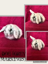 Pure bred mini lop to reserve