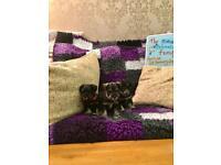 Miniature schnauzer puppies kc reg in Northern Ireland