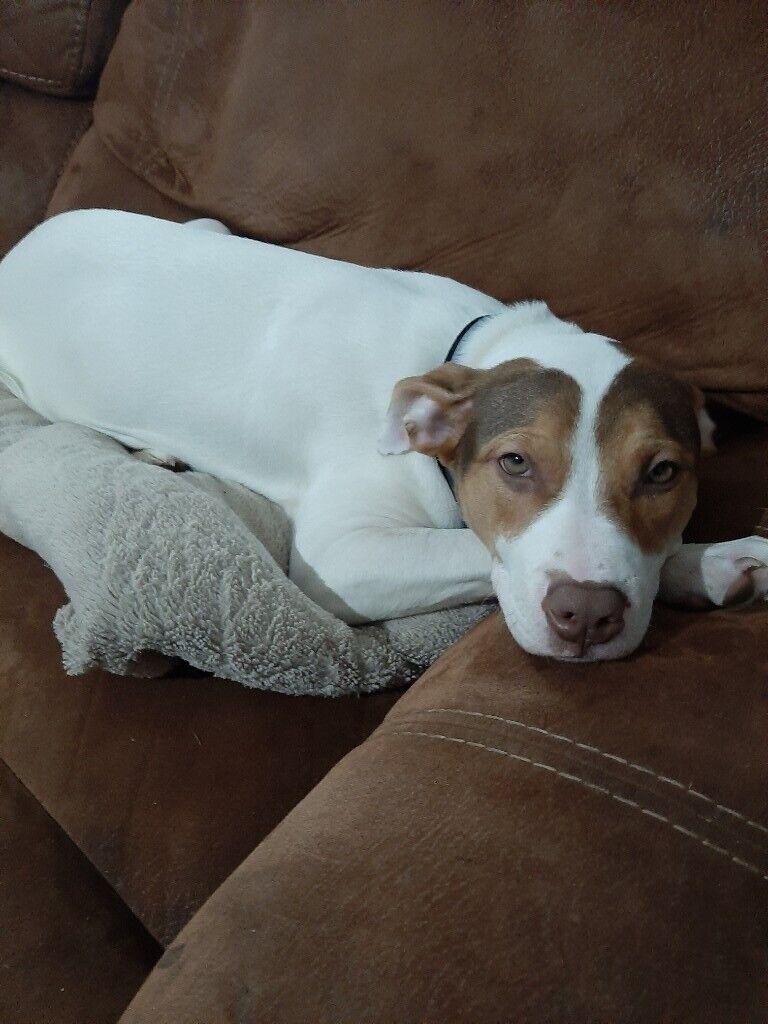 Staffy/American bull dog puppy | in Stapleford ...